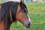 Pferd in Schaumburg